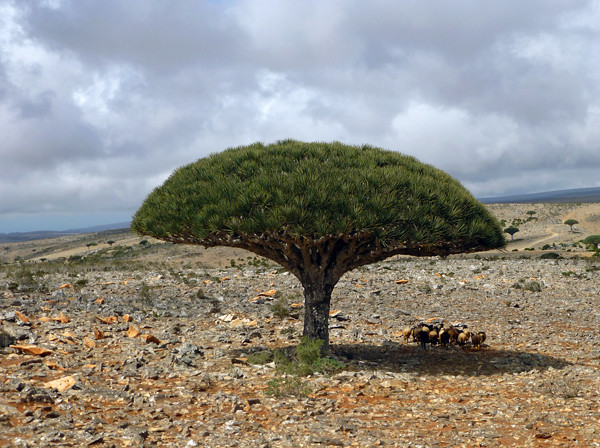 Dragon's Blood Tree, Socotra Island-M