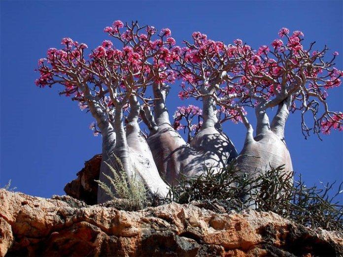 Socotra-Island-in-Yemen_Desert-Rose_1573
