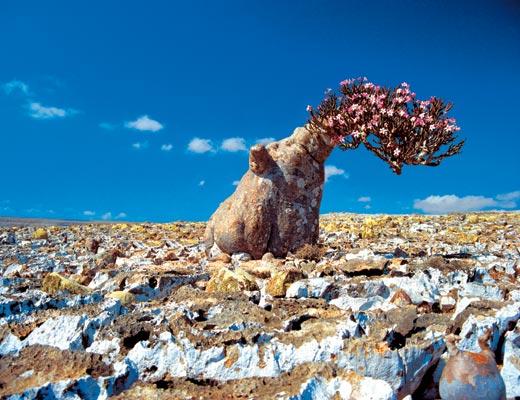 Socotra-Island-in-Yemen_Desert-Rose_5658