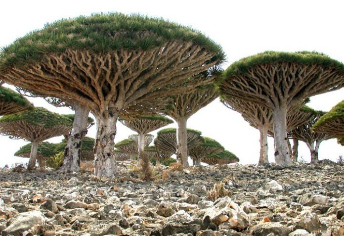 Socotra-Island-in-Yemen_Dragon-Blood-Tree_1574